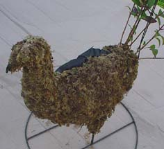 Making a peacock with fuchsia topiary With Topiary frames